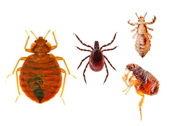 Отличия клопа от таракана, вши, блохи