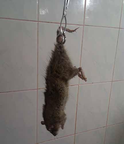 Как убить пойманную крысу