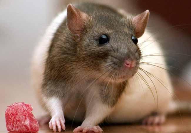 Крысиный яд — самое эффективное средство для борьбы с грызунами