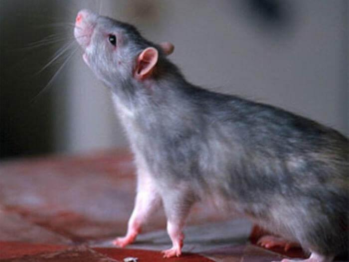 Крысы: методы борьбы и профилактические меры