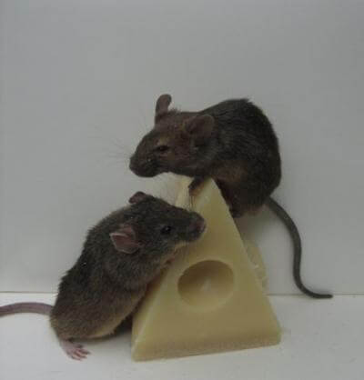 Разновидности мышей и методы борьбы