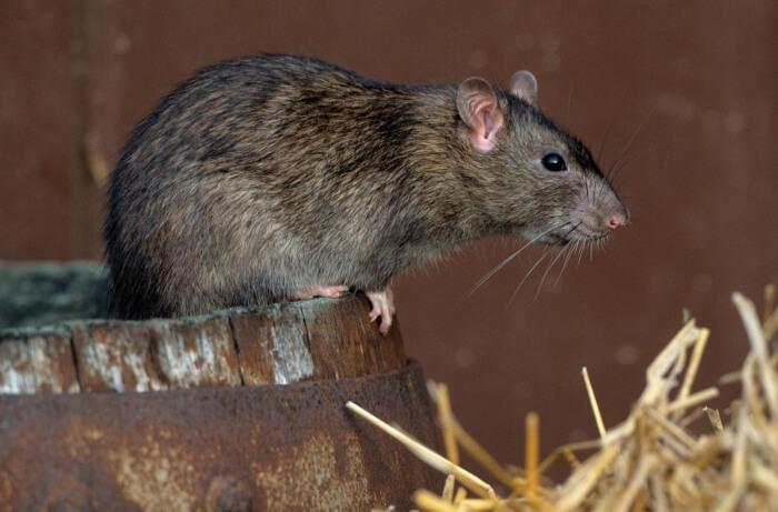 Земляная крыса. Самые эффективные методы борьбы