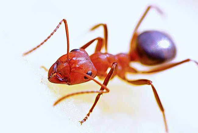 Обзор 17 самых эффективных средств от домашних муравьев в квартире и доме