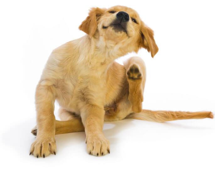 Как избавиться от блох у собак – капли, ошейники