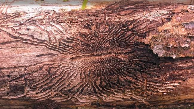 Вред от ясеневой изумрудной узкотелой златки: лечим пораженные златкой деревья