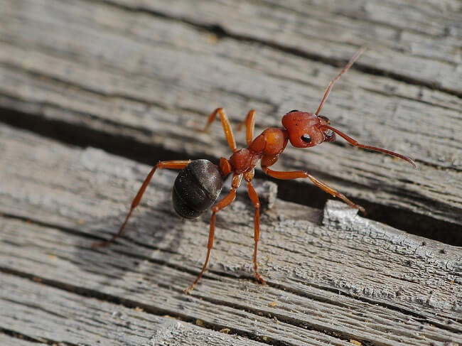 Борьба с огненными муравьями: обзор лучших средств
