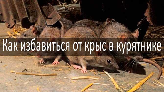 Как бороться с крысами в курятнике: фото