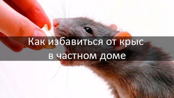 Как избавиться от крыс в доме: фото