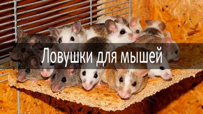 Ловушки для мышей: фото