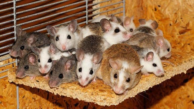 Ловушки для мышей: мышеловки и липкие ловушки