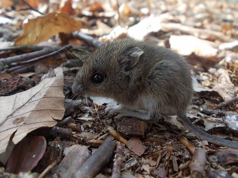 Избавляемся от мышей: отравить, отпугнуть или заманить в ловушку?