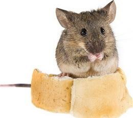 Самостоятельное уничтожение мышей