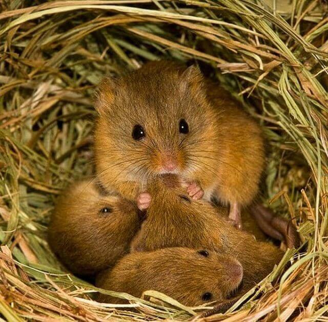 Полевая мышь. Признаки появления и методы борьбы