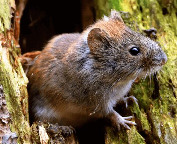 Как избавиться от полевых мышей? Что лучше и эффективнее: яд, ловушка, репеллент или что-то еще?