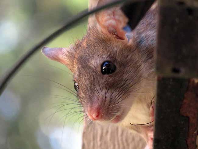 Ловушка для крыс: особенности охоты на грызунов