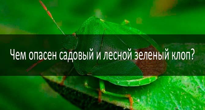 Садовый и лесной зеленый клоп