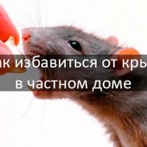 Разновидность Грызунов мышей